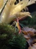 Marine Shrimp Posing en el océano Foto de archivo