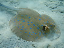 A marine skate Royalty Free Stock Images