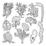Marine sketch with different underwater plants. Underwater sea plant sketch, vector illustration Royalty Free Stock Photos