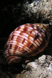 Marine snail. At the bottom of the mediterranean sea Royalty Free Stock Photo
