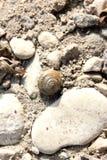 Marine snail Stock Images