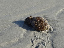 Marine snail Stock Photos