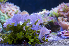 Marine soft coral pulsing Xenia Royalty Free Stock Image