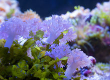 Marine soft coral pulsing Xenia Stock Photography