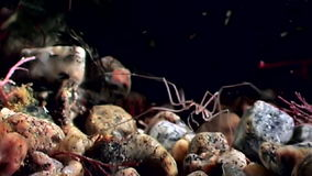 Marine spider close up underwater on black background seabed of White Sea stock video footage