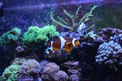 Marine tank with Real Nemo Stock Photo
