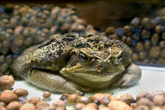 Marine toad 1 Royalty Free Stock Image