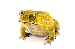 Marine Toad Arkivfoton