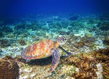 Marine tortoise in sea water. Marine green sea turtle closeup. Tropical coral reef wildlife. Sea tortoise undersea. Tropical seashore animal. Marine turtle in Royalty Free Stock Photography