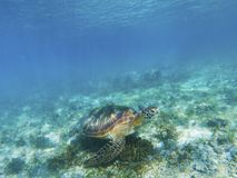Marine tortoise undersea. Green turtle in natural environment. Sea turtle feeds by seaweed. Tropical seashore underwater photo. Marine tortoise undersea. Green Royalty Free Stock Image
