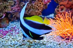 Marine tropical fish Stock Photos
