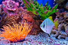 Marine tropical fish Stock Image