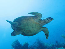 Marine turtle 03 stock image