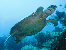 Marine turtle 04 Stock Images