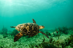 Marine Turtle. stock foto