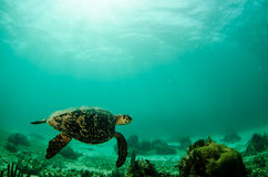 Marine Turtle. Arkivbild