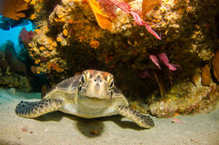 Marine Turtle. Royalty-vrije Stock Fotografie