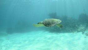 Marine Turtle. stock video