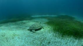 Marine Turtle. arkivfilmer