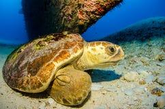 Marine Turtle. royaltyfria foton