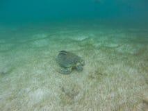 Marine Turtle i Mexico royaltyfri bild