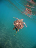 Marine turtle. Lonely marine turtle swimming in the transparent water. We see the reflection of the animal on the surface of the sea and a bottom of white sand Royalty Free Stock Photos