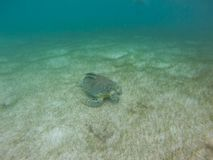 Marine Turtle in Mexico royalty free stock image