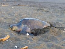 Marine turtle on the sand. Ostional National Park in Costa Rica Stock Photography