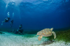 Marine Turtle. Stock Photos