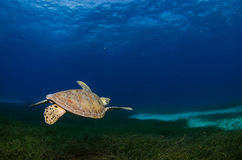 Marine Turtle. Stock Images