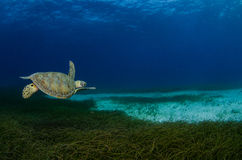 Marine Turtle. Royalty Free Stock Photo