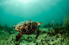 Marine Turtle. Royalty Free Stock Photography