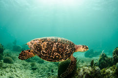Marine Turtle. Stock Photography