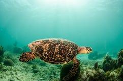 Marine Turtle. Stock Photography
