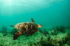 Marine Turtle. Stock Photo