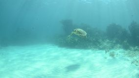 Marine Turtle. stock video
