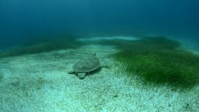 Marine Turtle. stock footage