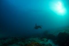 Marine Turtle. Stock Image