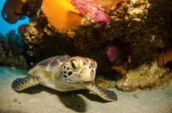 Marine Turtle. Royalty Free Stock Images