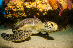Marine Turtle. Royalty Free Stock Image