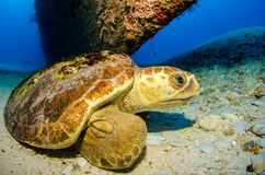 Marine Turtle. Royalty Free Stock Photos