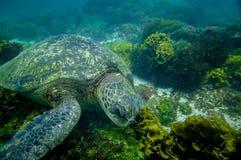 Marine turtle swimming underwater Royalty Free Stock Photos