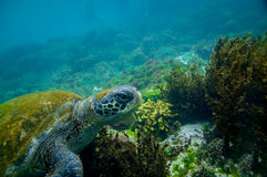 Marine turtle swimming underwater Royalty Free Stock Images