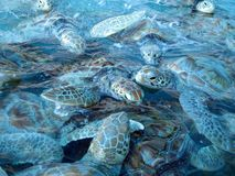 Marine turtles. In water at Isla Mujeres in Mexico Royalty Free Stock Photo