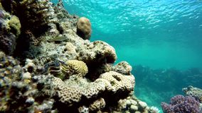 Marine, Underwater, The corals and fish. stock footage