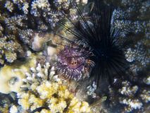 Marine urchin and polyp. Exotic island shore shallow water. Tropical seashore landscape underwater photo. Coral reef animal. Sea nature. Sea fish in coral Stock Image
