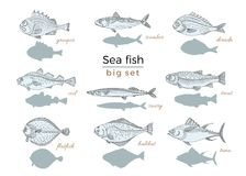 Set of sea fish. Seafood. Vector sketch. Marine vintage set of fish on white background. Perch, cod, mackerel, flounder, saira, tuna, dorado, halibut, trout Royalty Free Stock Image