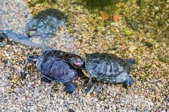 Marine waterfowl turtle Royalty Free Stock Photography