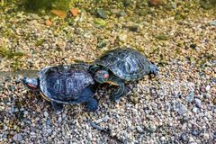 Marine waterfowl turtle Stock Images