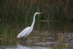 Marine white bird looking for prey. stock image